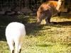 Känguru-Familie