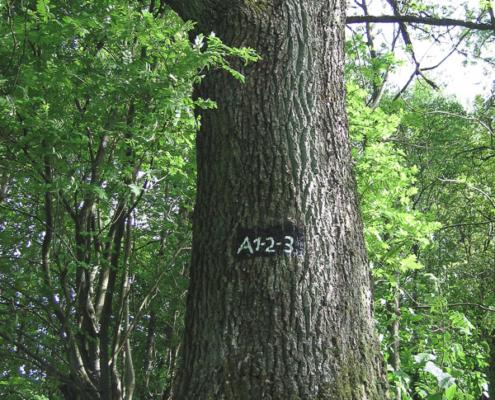 """Markierung A1-A2-A3 an einer uralten Eiche am Wanderparkplatz """"Köhlerplatz"""""""